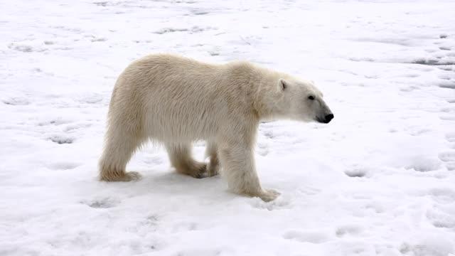 polar bear, svalbard - polar bear stock videos and b-roll footage