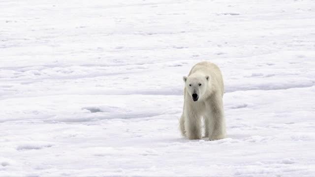 polar bear, svalbard - eisbär stock-videos und b-roll-filmmaterial