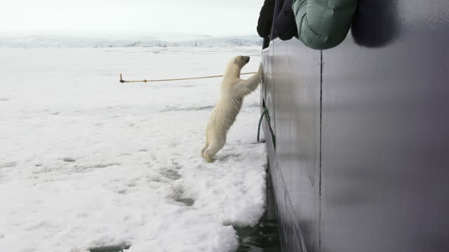 polar bear, svalbard - clima polare video stock e b–roll