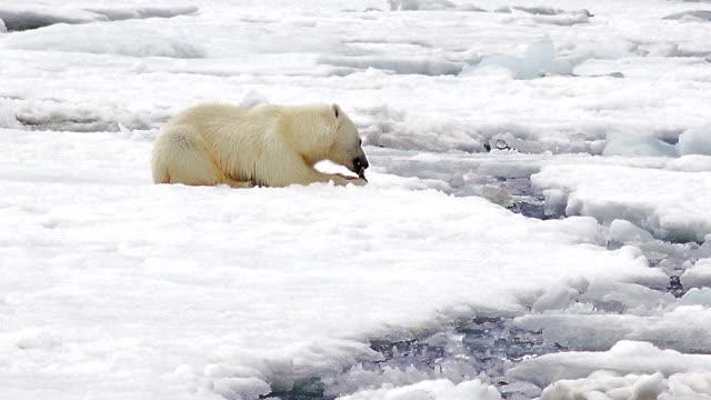 polar bear, svalbard - bär stock-videos und b-roll-filmmaterial