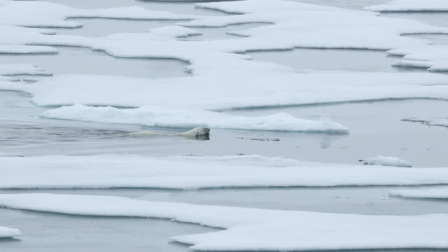 polar bear swimming between ice floes - ice floe stock videos & royalty-free footage