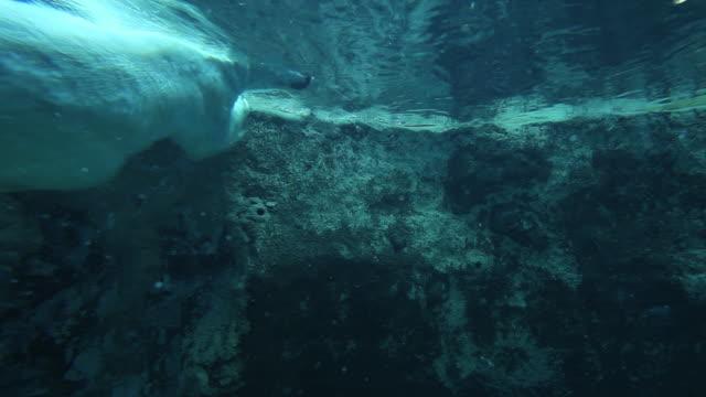 ms polar bear swimming in the pool / asahikawa, japan - asahikawa stock videos & royalty-free footage