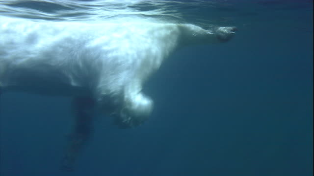 a polar bear swims in the arctic ocean. - arctic stock videos & royalty-free footage