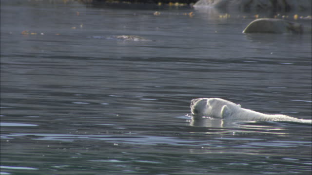 a polar bear swims in the icy sea of svalbard in arctic norway. - svalbard islands stock videos & royalty-free footage