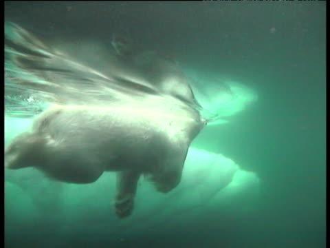 vídeos de stock e filmes b-roll de polar bear swims through green water, svalbard - clima polar