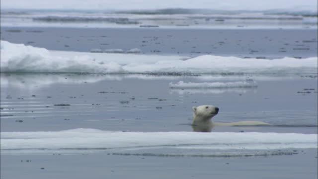 a polar bear swims through sea ice in svalbard, arctic norway. - ホッキョクグマ点の映像素材/bロール