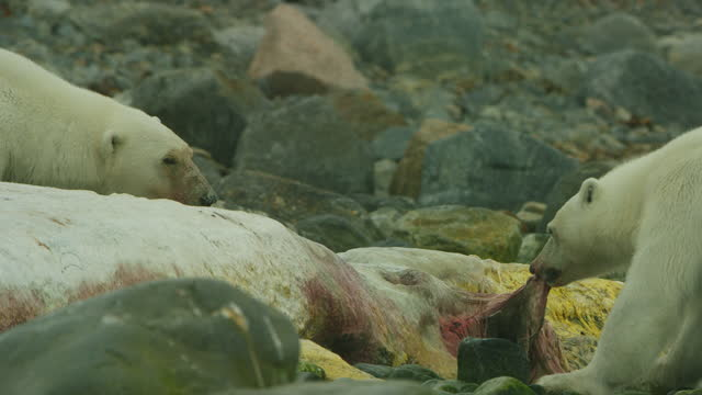 polar bear tears blubber from rotting sperm whale carcase with second bear watching - スヴァールバル諸島およびヤンマイエン島点の映像素材/bロール