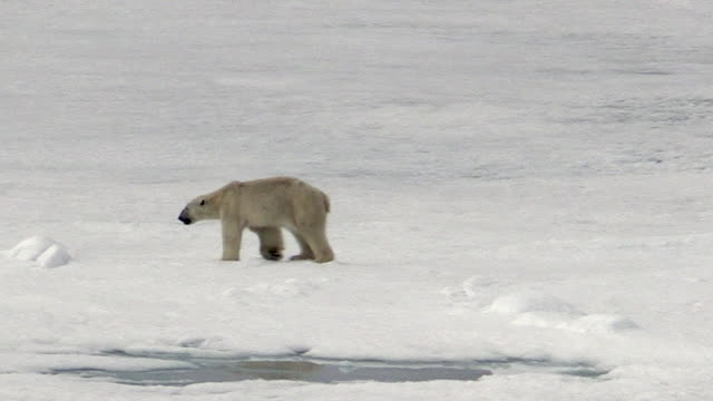 polar bear, very skinny, svalbard, norway - thin stock videos & royalty-free footage