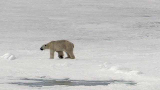 vídeos y material grabado en eventos de stock de polar bear, very skinny, svalbard, norway - delgado