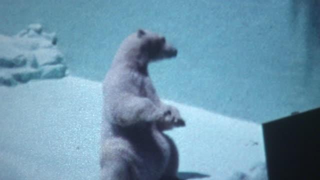 stockvideo's en b-roll-footage met polar bear - 1960
