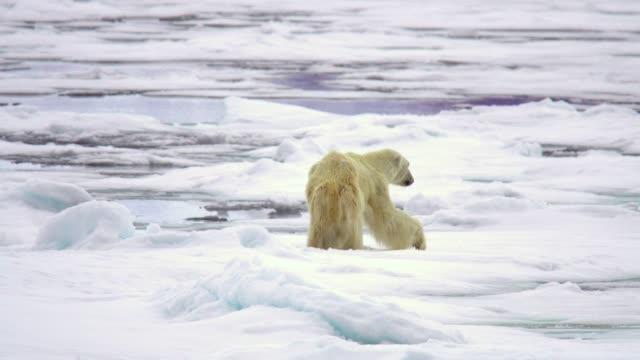 polar bear  (ursus maritimus) - arctic stock videos & royalty-free footage