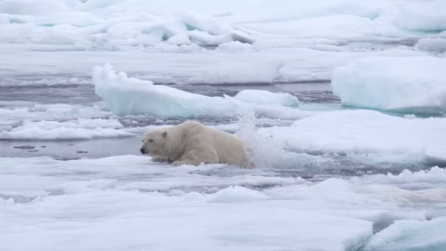 polar bear - climate change stock videos & royalty-free footage