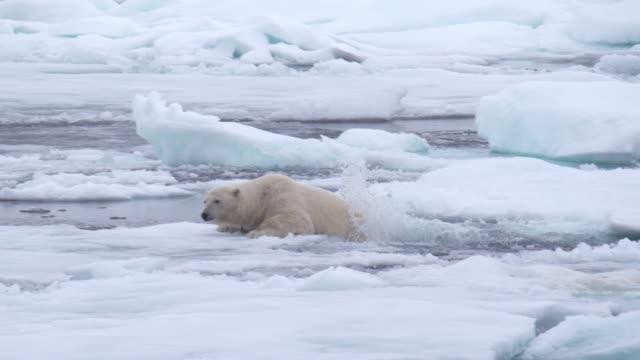 polar bear - 気候変動点の映像素材/bロール