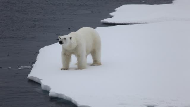 polar bear - eisbär stock-videos und b-roll-filmmaterial
