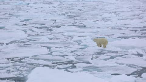 vídeos de stock e filmes b-roll de polar bear - ártico