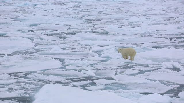 polar bear - polarklima stock-videos und b-roll-filmmaterial