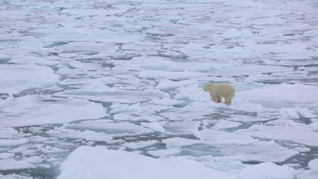 vídeos de stock e filmes b-roll de polar bear - clima polar