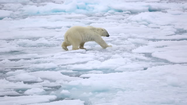 polar bear - animals in the wild stock videos & royalty-free footage