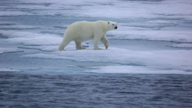 polar bear - polar bear stock videos and b-roll footage