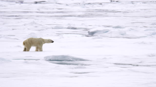 polar bear (ursus maritimus) - polarklima stock-videos und b-roll-filmmaterial