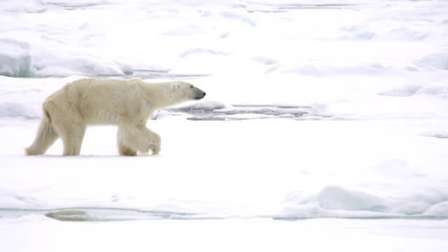 polar bear (ursus maritimus) - ホッキョクグマ点の映像素材/bロール