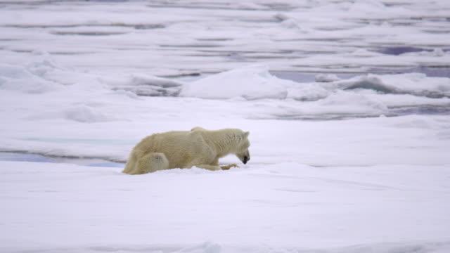 polar bear (ursus maritimus) - polar bear stock videos and b-roll footage