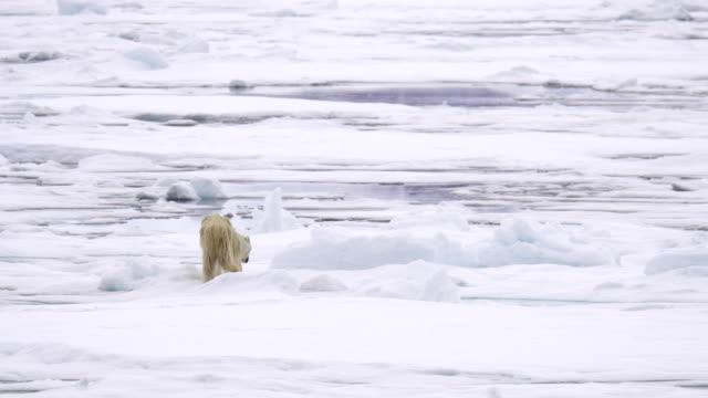 polar bear (ursus maritimus) - 北極点の映像素材/bロール