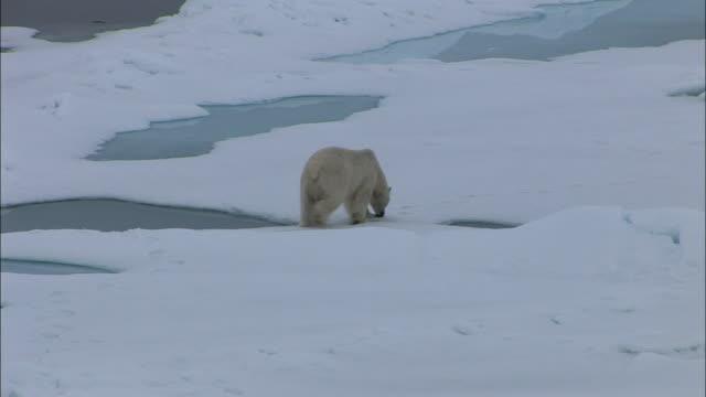 vídeos de stock, filmes e b-roll de hs ws polar bear walking across ice/ north pole - pólo norte