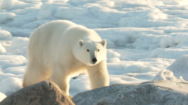 MS TS Polar bear walking among boulders of ice / Churchill, Manitoba, Canada