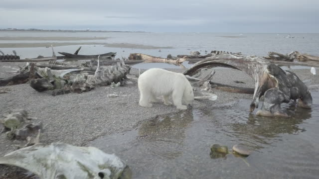 polar bear walking around near whale bone graveyard - animal bildbanksvideor och videomaterial från bakom kulisserna