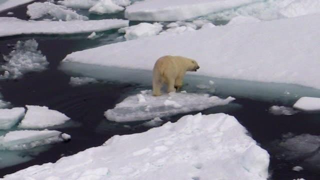 polar bear walking away, svalbard, norway - ホッキョクグマ点の映像素材/bロール