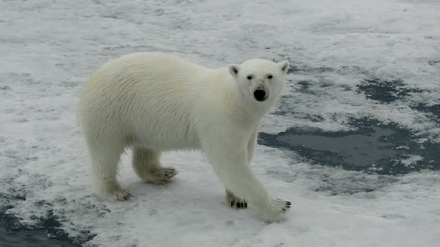 polar bear walking on ice, svalbard, arctic - 環境問題点の映像素材/bロール