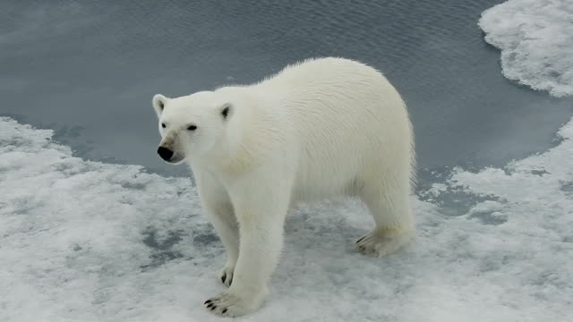 polar bear walking on ice, svalbard, arctic - svalbard islands stock videos & royalty-free footage