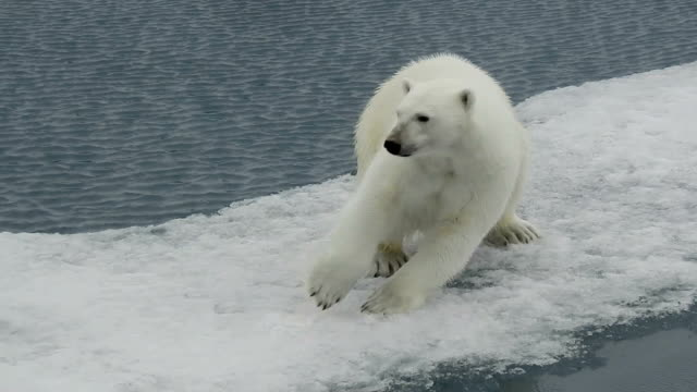 polar bear walking on ice, svalbard, arctic - comportamento animale video stock e b–roll