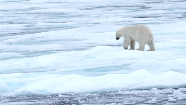 polar bear walking on ice, svalbard, arctic - クマ点の映像素材/bロール