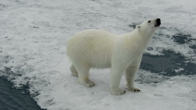vídeos de stock, filmes e b-roll de polar bear walking on ice, svalbard, arctic - um animal