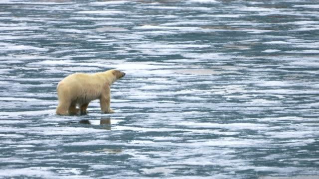 polar bear walking on ice- svalbard norway - bear stock videos & royalty-free footage