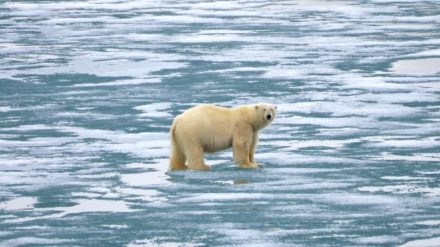 polar bear walking on ice- svalbard norway - greenhouse effect stock videos and b-roll footage