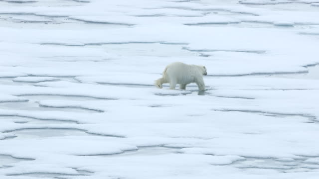 polar bear walking on sea ice - melting stock videos & royalty-free footage