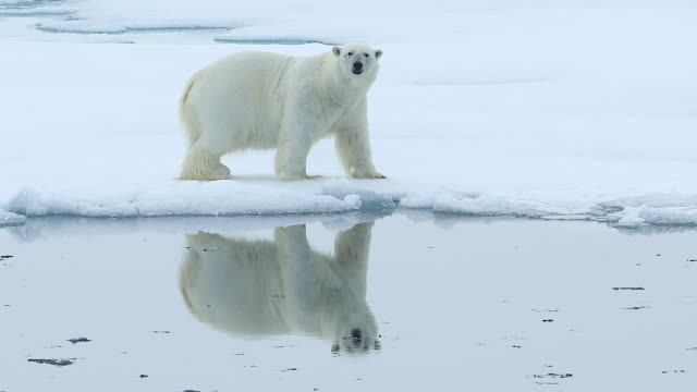 vídeos de stock, filmes e b-roll de polar bear walking on sea ice with perfect reflection of itself - derretendo