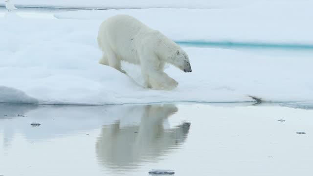 vídeos y material grabado en eventos de stock de polar bear walking on sea ice with perfect reflection of itself - clima polar