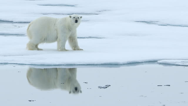 polar bear walking on sea ice with perfect reflection of itself - bedrohte tierart stock-videos und b-roll-filmmaterial