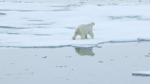 vídeos de stock e filmes b-roll de polar bear walking on sea ice with reflection - ártico