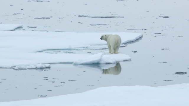 polar bear walking on sea ice with reflection - clima polare video stock e b–roll