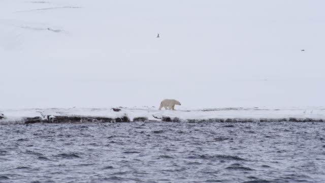 polar bear walking on snow covered shore, svalbard island, norway - polar bear stock videos & royalty-free footage