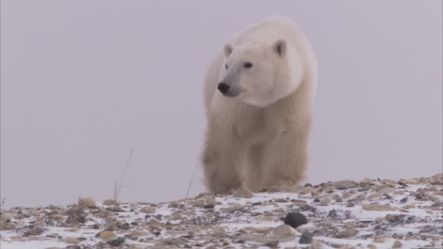 polar bear walking on snowy rocks, churchill, manitoba, canada - manitoba stock videos & royalty-free footage