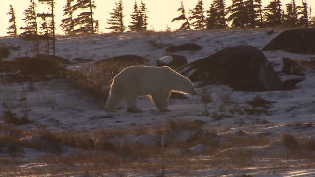polar bear walking on snowy tundra, churchill, manitoba, canada - ホッキョクグマ点の映像素材/bロール