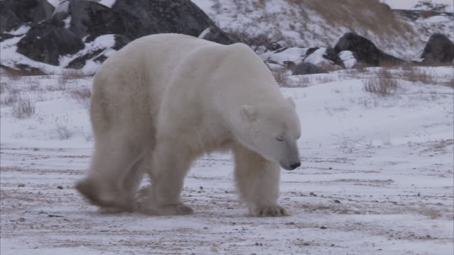 Polar bear walking on snowy tundra, Churchill, Manitoba, Canada