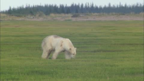 vídeos y material grabado en eventos de stock de a polar bear walking on the grass in the north pole - hierba familia de la hierba