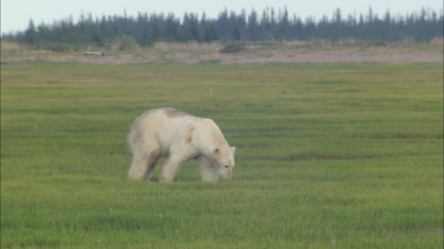 a polar bear walking on the grass in the north pole - grass family stock videos & royalty-free footage